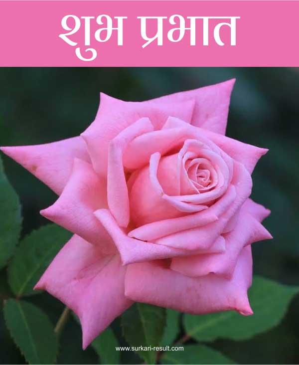 suprabhat-pink-rose-flower